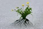 resilience - dandelion through asphalt